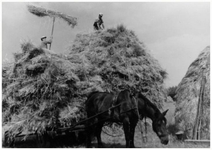 Fam. Broers: Het zetten van korenmijten. Bovenop Thieu Broers de opsteker is Driek Broers  Broers (fotograaf) - 1955