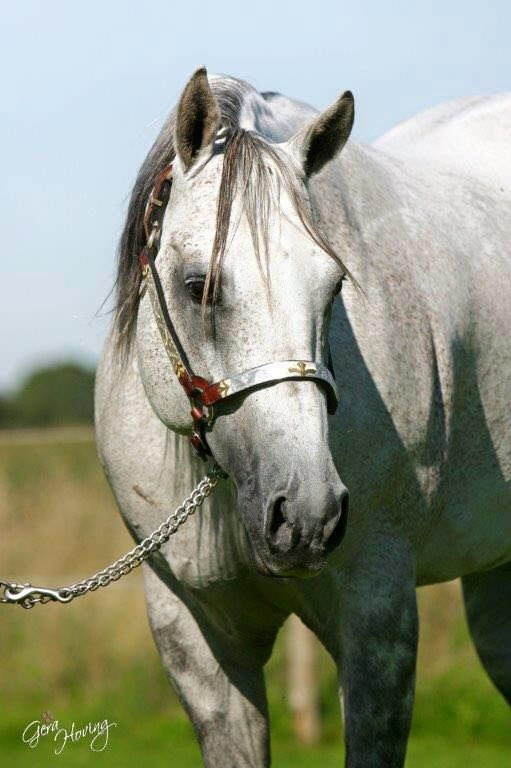 Chex N Go (Topsail Whiz x Chocolate Chex) 1994 Gray AQHA Stallion