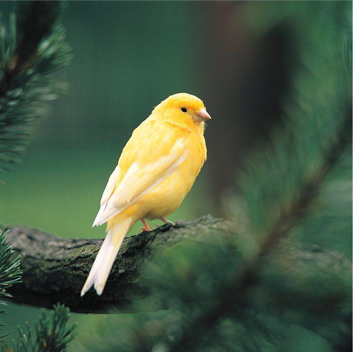 Kanarienvogel, domestic canary