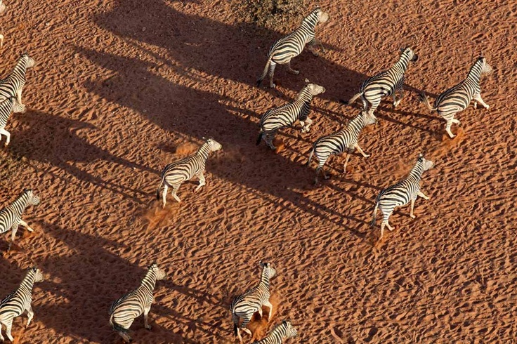 Zebra charge across the ochre sands of the Naukluft