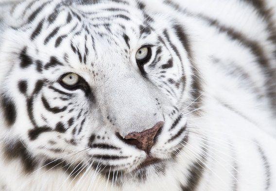 Witte tijger van Marcel van Balken