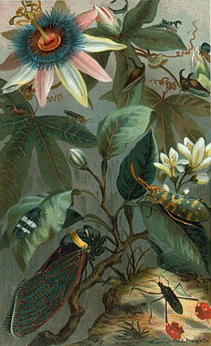 Cicadae, Lantern-Fly from 'Animate Creation' (1898). Editor - Joseph Bassett Holder. Author - John George Wood. Image and text from NYPL...
