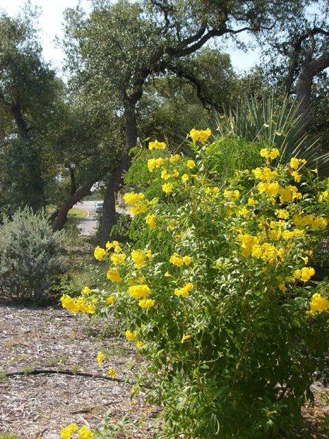 Yellow bells / Esperanzas [Tecoma stans] - Deciduous, irregular shrub, 3-9 feet. Sun or Part Shade.  Cold, heat, and drought tolerant.  Moderately deer resistant. Large yellow flowers are attractive to bees, butterflies and hummingbirds. Long blooming period.