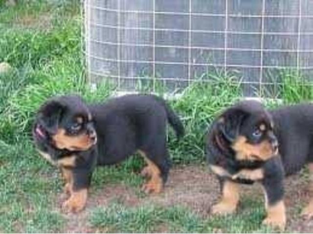 Two Purebread Rottwieler Puppies Rottweiler Puppies Rottweiler