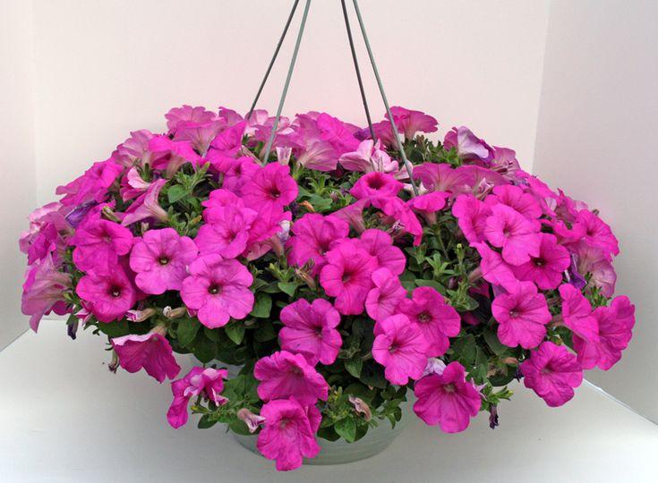 Plante pentru ghiveci suspendat – petunia