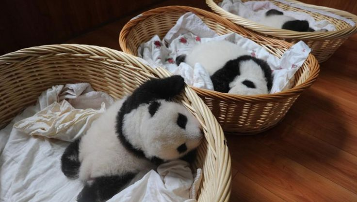 These Baby Pandas, During Their First Public Appearance, are a cause to celebrate! - Viralomia