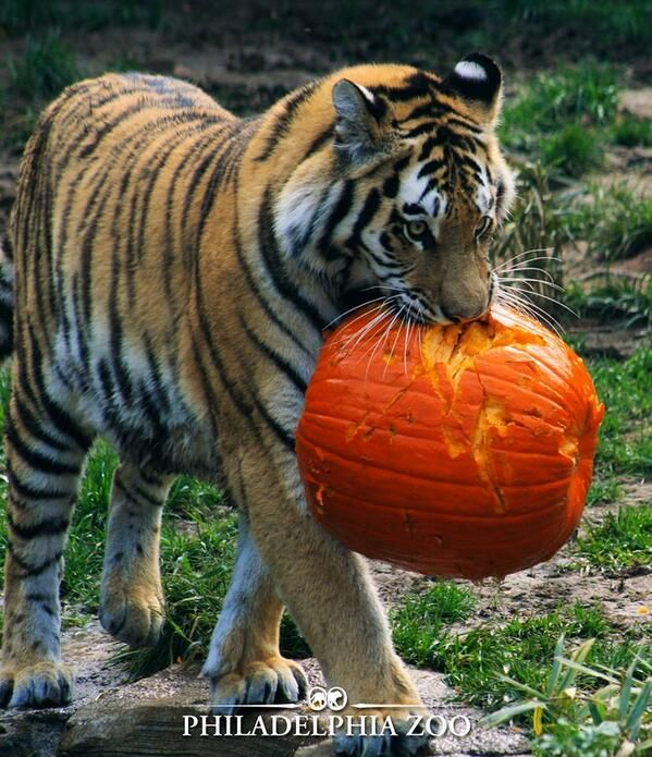 Looks like this tiger carved its own pumpkin halloween