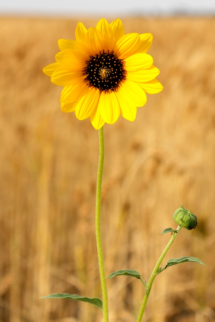 A wild sunflower growing in a wheat field. http://www.pattondesignonline.com/photo.html