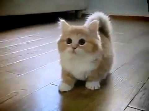 Munchkin cat playing with her mistress - YouTube