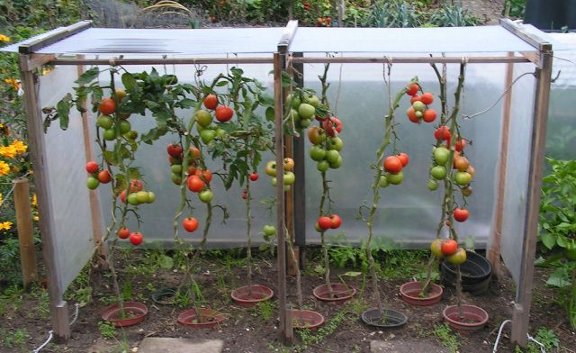 Afdak paprika en tomaten, makkelijke kas