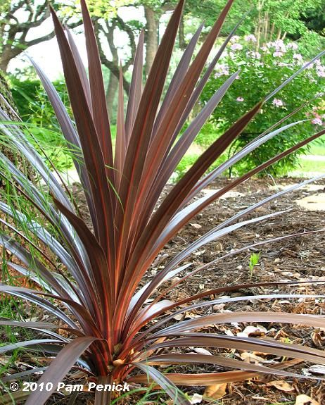 SHADE- Cordyline Australis- Australia native tree, not cold hardy, perennial but will grow as an annual in Austin in all but the most mild winters. Cover in freezing temperatures.