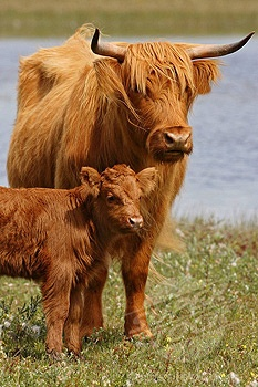 Scottish Highland cow with calf. I hope I see these some day!!!