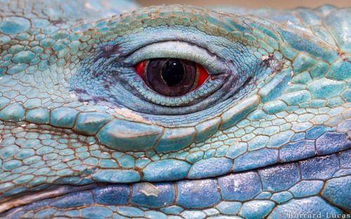 The beady eye of a beautiful blue iguana, Grand Cayman Island.