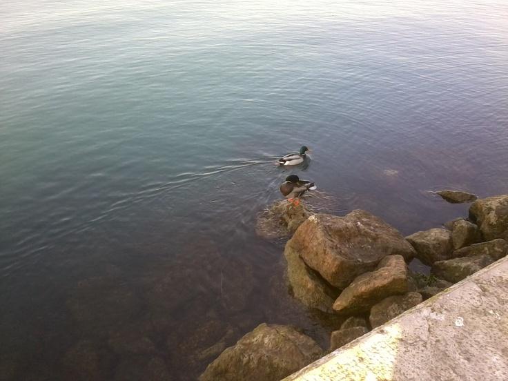 Papere lago di Garda