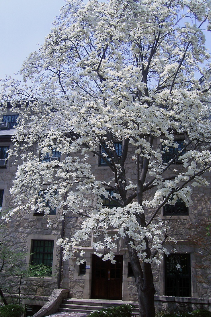 Magnolia blossom, Jinsunmi Hall