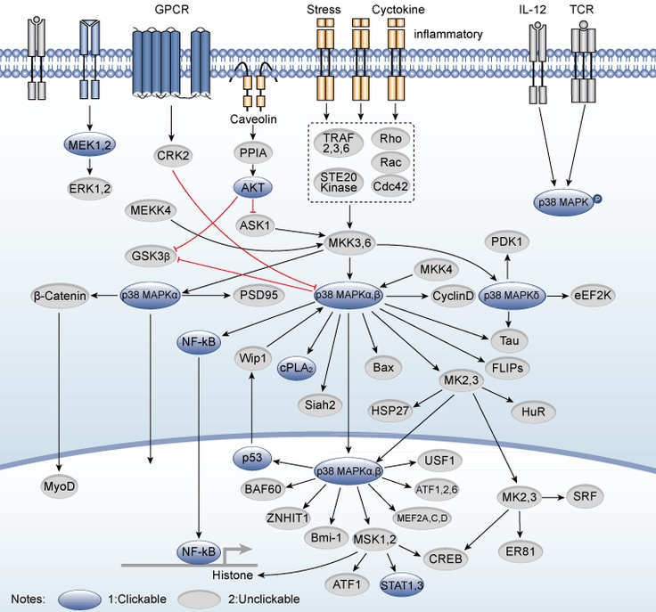 p38 mapks (P38 mitogen-activated protein kinases) which include p38 isoforms α, β, γ, and δ are a member of mitogen-activated protein kinases family. p38 mapk can be activated by LPS, proinflammatory cytokines, various environmental stresses. p38 MAPK phosphorylates various substrates including MAPK-activated protein kinase 2 (MAPKAPK2). p38 MAPK which is activated in the human brain with Alzheimer's disease plays more than one role in Alzheimer's disease (AD).
