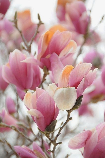 Spring! Tulip Tree! Isn't this magnolia tree? Are there two names for it?