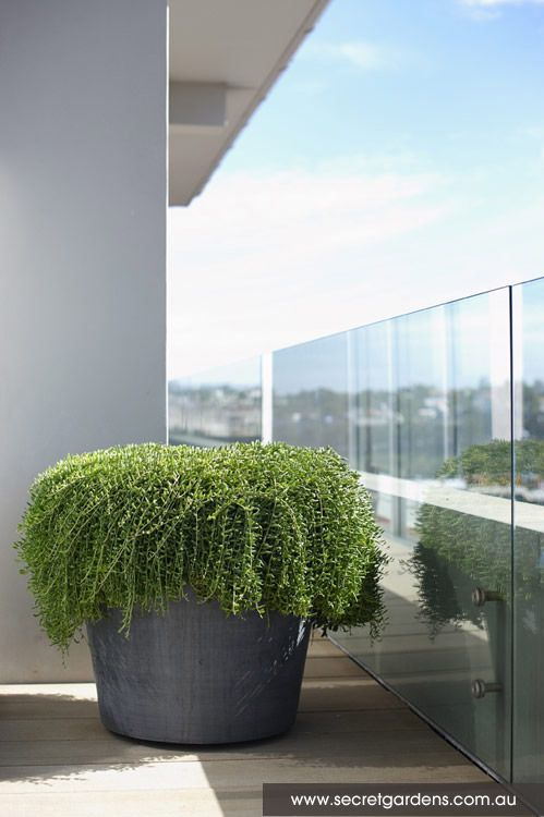 17 meilleures id es propos de plante tombante sur for Plante tombante