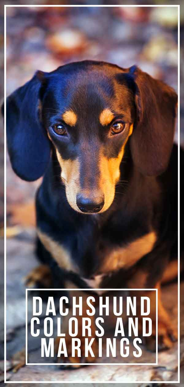 Dachshund Colors And Markings Explore The Range Of Patterns And