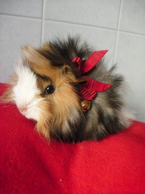 cute guinea pig with red bow in hair