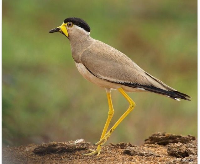 The yellow-wattled lapwing is a lapwing that is endemic to the Indian Subcontinent. It is found mainly on the dry plains of peninsular India and has a sharp call and is capable of fast flight. Wikipedia Scientific name: Vanellus malabaricus Higher classification: Vanellus Rank: Species