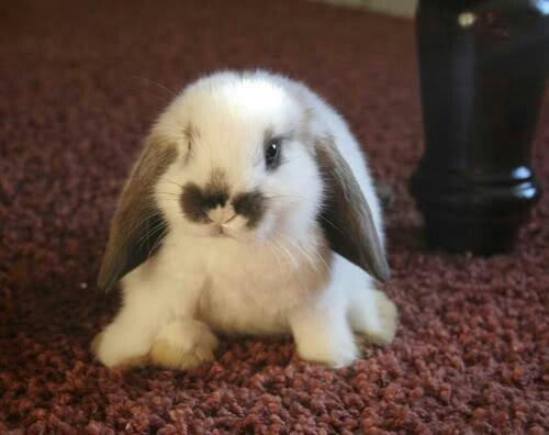 Lapin nain bélier / Mini lop rabbit