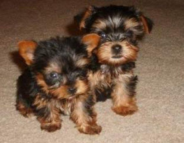 teacup yorkie puppies for adoption Zoe Fans Blog