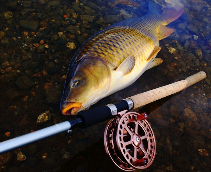 good common carp with a centerpin reel