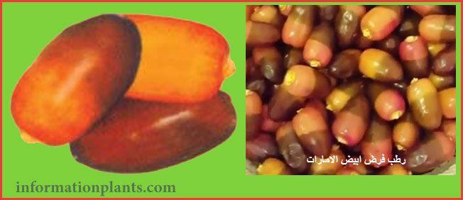 تمر فرض الاماراتي قسم التمور مع الصور قسم التمور انواع الاسماك مع الصور معلوماتية نبات حيوان اسماك فوائد Vegetables Beans Food