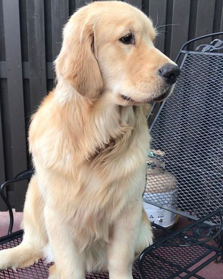 "232 Likes, 5 Comments - Golden.Retriever.Rater (@golden.retriever.rater) on Instagram: ""OMG! I've done my super calculations and the results are in... this beautiful doggie is a brilliant…"""