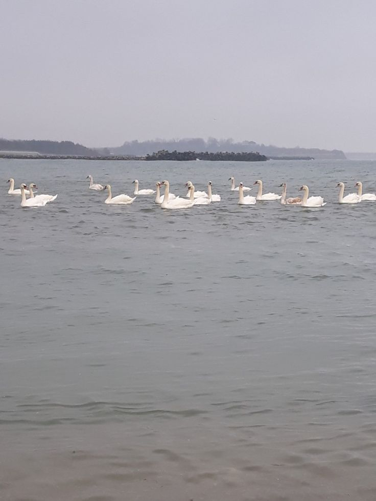 #olimp #blacksea #swans