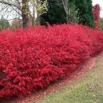 The Dwarf Burning Bush is one of the most colorful shrubs out there. A brilliant, fire-red illuminates off the shrub, catching everyone's eye. The best part about this shrub is the colorful display that will last for months! Not only does the shrub have great fall color but in the spring and summer it is covered in a beautiful shade of green. While the color adds great appeal to the Burning Bush, there are many other attractive qualities. This no maintenance, no headache shrub is easy to ...