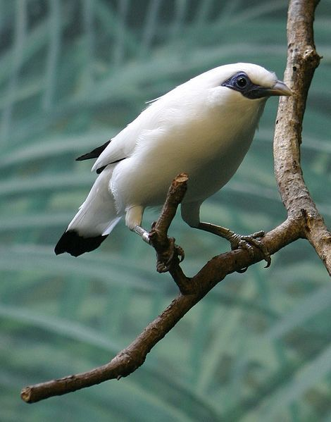 This is one of the world's rarest birds, the critically endangered Bali
