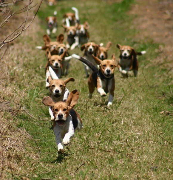 In addition to organized beagling, beagles have been used for hunting or flushing to guns (often in pairs) a wide range of game including  Snowshoe Hare ,  Cottontail rabbits ,  game birds ,  Roe...