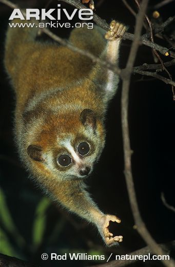 The pygmy slow loris occurs in Laos, Vietnam, Cambodia & the Yunnan Province of China. My favourite animal & sadly endangered. Far too many ignorant people just see them as cute & get them as pets. They are toxic & nocturnal. Their habitat is being destroyed. They are hunted for food, traditional medicine and the pet trade. Hunting & capture of the pygmy loris is illegal in Cambodia, China & Vietnam, although enforcement of these laws is lacking and the penalties are too low to deter others.