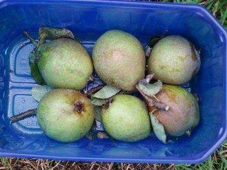 Marxenbirne, Mostbirne,Ernte: X, 3 Wochen lagerfaehig, robust, 19% Zucker, hoher Gerbstoffgehlt, suesswuerzig, besonders geeignet zum Mischen mit Apfelmost. Grosser Baum fuer Streuobstwiesen, jaehrlich, fruchtbar