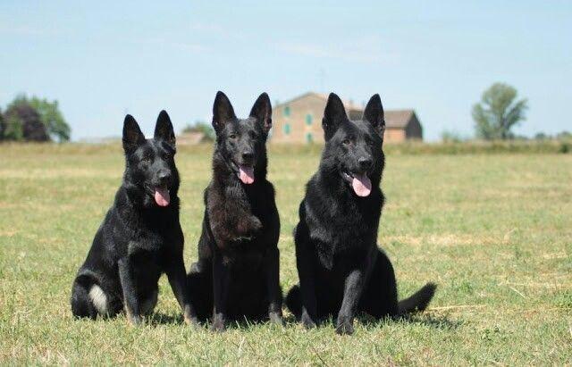 Training Your German Shepherd Dog Perros Pastores Perros Mascotas