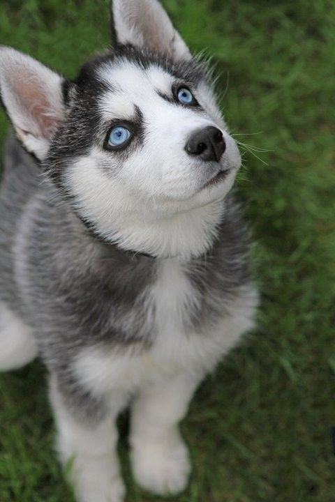 Baby huskie