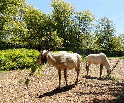 Arrivée d'oryx d'Arabie à Touroparc.Zoo