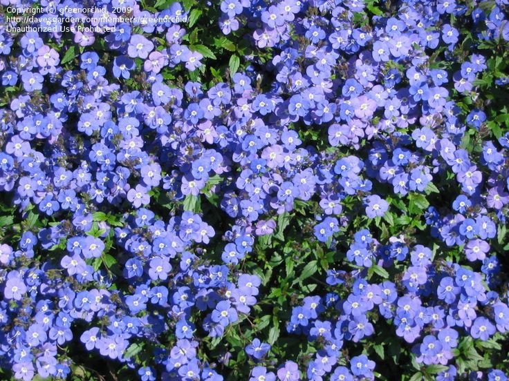 Creeping Veronica Sdwell Georgia Blue Umbrosa It Blooms In The Spring