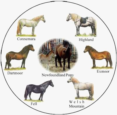 Equiworld - The Newfoundland Pony - Horse and Pony Breeds - Equestrian Information on the internet