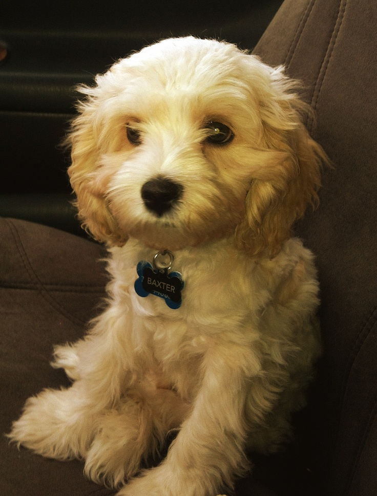 Cockapoo Puppies For Sale   Whitley City, KY #296243