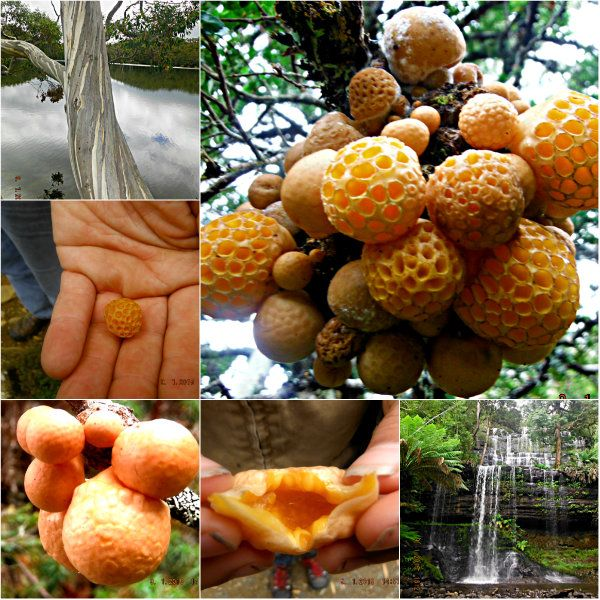 Hunting for Bush Tucker – Wild Myrtle Oranges