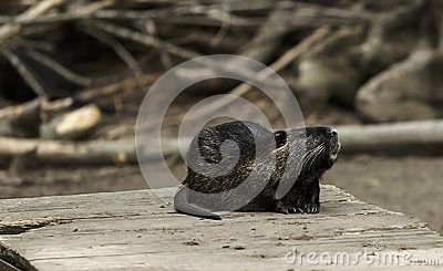 Otter resting on the ground