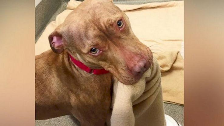 El tierno video del perro pitbull que hace su cama con su hocico - Telefe Noticias