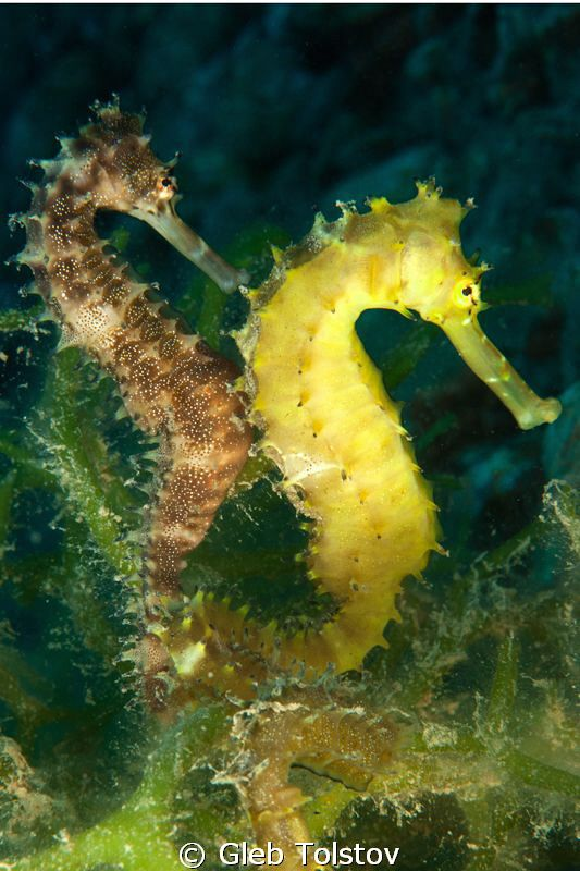 Two seahorses / Red Sea