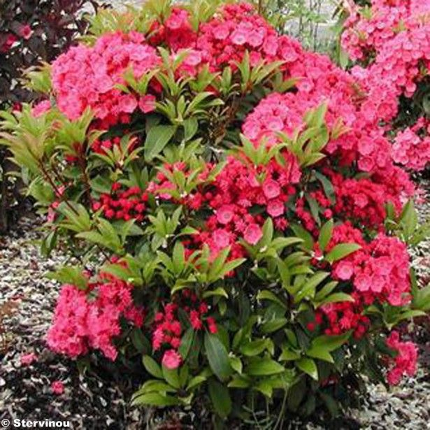 Kalmia latifolia Pink Charm - Laurier des montagnes rose foncé