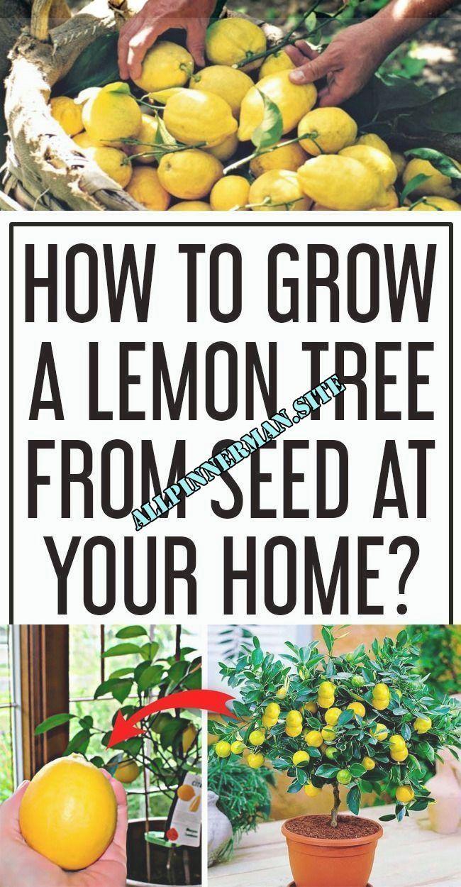 Pin On Indoor Garden Diy Best Garden Deko Pin On Indoor Garden Diy Best Garden Deko Lemon Tree From Seed How To Grow Lemon Lemon Seeds