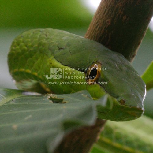 Vine Tree Snake 3 (square)