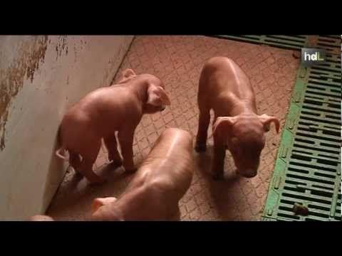 Una granja de cerdo ibérico de Huelva se abastece totalmente para la cría de sus 'pata negra' de energía solar lo que permite al ganadero realizar esta actividad en pleno Parque Natural de la Sierra de Aracena sin emisiones contaminantes y con un ahorro en la producción de cerca del 50%.